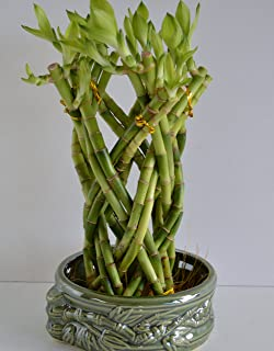 Lucky Bamboo Dragon design 10'' tall set with a handmade ceramic vase