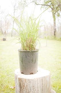 Two #1 Gallon Potted Graziella Maiden Grass (Miscanthus sinensis 'Graziella') Plant