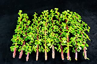 12 Healthy Portulacaria Afra Succulent Cuttings - Elephant Bush