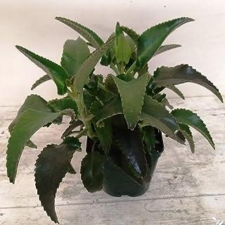 Planta de Kalanchoe Daigremontiana PORTES GRATIS