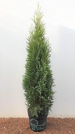 Heckenprofi Edel Thuja Smaragd Immergruner Lebensbaum Zypresse 60 80cm Im Topf Gewachsen 30 Stuck
