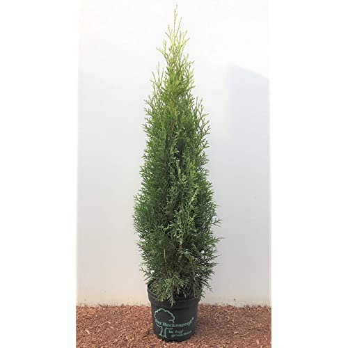 50 Stück Thuja Smaragd Heckenpflanze Lebensbaum Edelthuja immergrün 60-70 cm