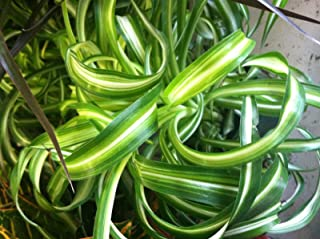 Spider Plant - Curly Bonnie - Variegated - Live Plant - 4