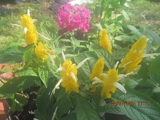 Golden Shrimp Plant Pachystachys Lutea Starter Plant