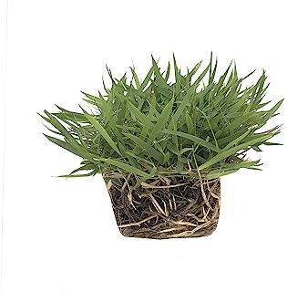 "Zoysia Sod Plugs - 36 Large 3"" x 3"" Plugs - Drought, Salt & Shade Tolerant Turf Grass"
