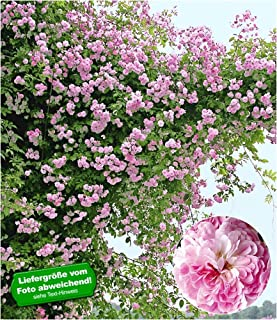 BALDUR Garten Rambler-Rosen 'Paul's Himalayan Musk Rambler', 1 Pflanze..