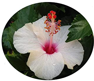Strawberries and Cream Tropical Hibiscus Live Plant Unusual Pink and White Single Flowers Slow Grower Starter Size 4 Inch Pot Emeralds TM