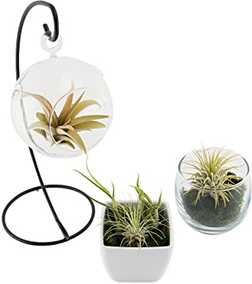 Amazon Com 9greenbox Air Plant Terrarium Kit With Moss And Pebbles Live Plant Ornament Decor For Home Kitchen Office Table Desk Attracts Zen Luck Good Fortune Non Gmo Grown
