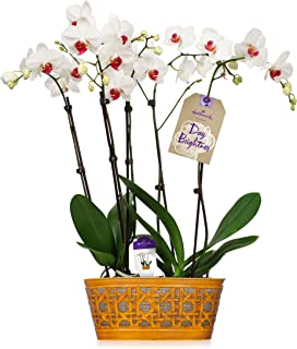 Orchid Flower Plant, White Double Spike in 10-Inch Yellow Tin Container, From Hallmark Flowers