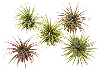 5-Pack of Air Plants - Includes 5 Tillandsia Ionantha Air Plants - Easy Care - Great in Terrariums - Air Filtering - Vibrant Fun Unique Decor or Gift