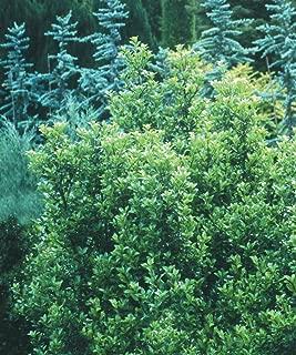 Castle Wall/Castle Spire - Blue Holly - Ilex - Male/Female Plants- 5