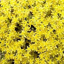 lemon frost thyme seeds
