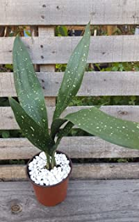 Aspidistra Cast Iron☆ Milky Way ☆Plant Green Foliage Outdoor/Indoor