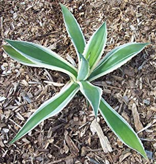 Century Plant - Variegated - Agave Americana - Live Plant - Large 1/4 Gallon Pot