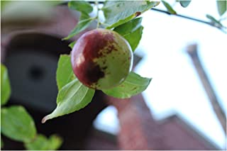Zizyphus Jujuba Indian Jujube Seeds 7 Hard to find Seeds Small Tree Bright Green Leaves Loves Hot Summers Works Well as Bonsai or Standard
