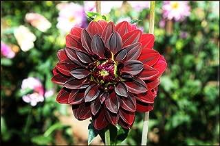 2 Arabian Night Dinnerplate Dahlia Tubers - Root - Bulb - Plant - Spring Planting & Summer Flowers - Blooming Size
