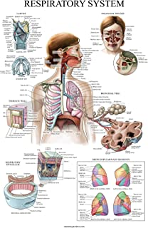 Laminated Respiratory System Anatomical Chart - Lung Anatomy Poster - 18