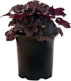 Best perennial lobelia seeds Reviews