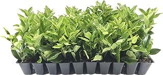 Ligustrum Waxleaf Privet - 3 Live Plants 2