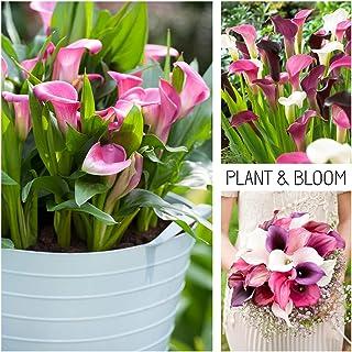 Plant & Bloom - Bulbos de flores de Calas/Aro – 3 bulbos, fáciles de cultivar todo el año – Blanca Rosa Violeta – Calidad superior holandesa, Colección abundancia de rosa