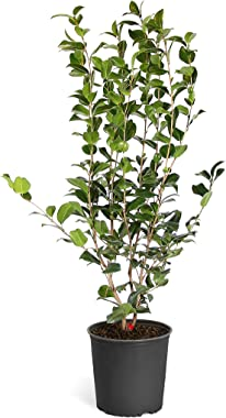 Brighter Blooms - Yuletide Camellia Shrub - Indoor/Outdoor Flowering Plant, 3 Gallon, No Shipping to AZ, TX, or TN