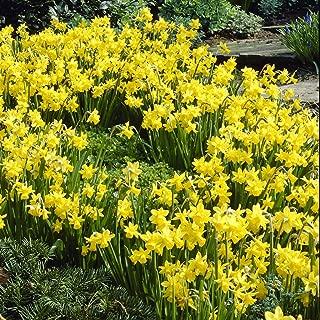Van Zyverden Daffodils Tete A Tete Set of 25 Bulbs