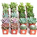 Shop Succulents Unique Succulent 20-Plant Set