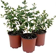 The Three Company Aromatic and Healthy Live Herb Eucalyptus (3 Per Pack), Natural Air Purifier
