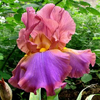 10 Supreme Bearded Iris Mix, Roots, Bulbs, Plants, Incredible Reblooming Irises Nice Addition to Any Garden