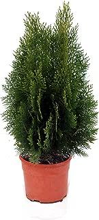Planta natural de Botanicly – 1 x Tuya del Canadá – Altura aprox. 60 cm – Thuja Occidentalis Esmeralda