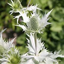 Sea Holly Silver Ghost - Miss Willmotts Ghost Séẹds - Everlasting - Great Cut Flower - Eryngium Giganteum