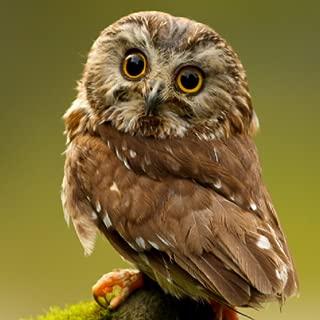 Funny Little Owl Live Wallpaper