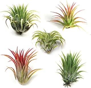Air Plant Shop's Tillandsia Ionantha - 5 Pack - Free PDF Air Plant Care eBook with Every Order - 5 Pack Air Plant Variety - Fast Shipping from Florida