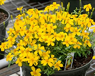 Mexican Mint Marigold 50 Seeds Tagetes Lucida Herbal Tea Soup