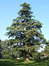 Cedrus Deodara Diyar Tree Himalyan Cedar 100 Seeds