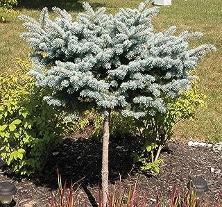 Dwarf Globe Blue Spruce (Tree Form on 20