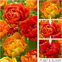 Plant & Bloom Tulip Flower Bulbs from Holland, 25 bulbs - Tulip Double Sunlover Chameleon Tulip - Easy to Grow - For Fall Planting, Spring Flowering - Orange Colour Changing Blooms - Top Dutch Quality