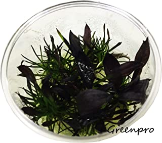 Greenpro Echinodorus Aflame Purple Knight Red Amazon Sword Vitro Live Aquarium Plant Tissue Culture Cup Freshwater Fish Tank Decorations