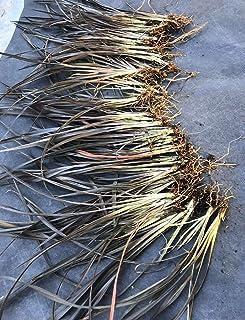 12 Bare Root-Jack Sprat Phormium tenax New Zealand Flax Live Plant