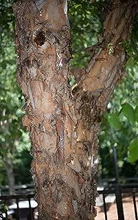 river birch seeds