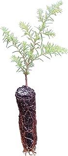 Best purchase hemlock trees Reviews