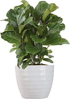 Costa Farms Ficus Lyrata Bambino Trending Tropicals Collection Live Indoor Plant, 1-Foot, Ships in White Ceramic