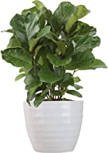 Costa Farms Ficus Lyrata, Little Fiddle Bambino Trending Tropicals Collection Live Indoor Plant, 1-Foot, Ships in White Ce...