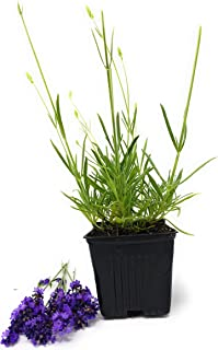 Findlavender - Lavender Plant Phenomenal - 1Qt Size Plant - 1 Live Plant - Zonez 5-11