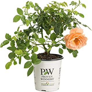 At Last Rose (Rosa) Live Shrub, Orange Flowers, 4.5 in. Quart