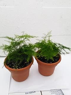 Two Fern Leaf Plumosus Asparagus Fern 4.5
