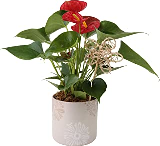 Best send house plants as gifts Reviews