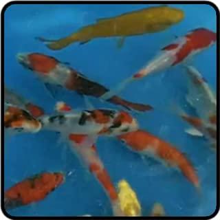 Touch Koi Fish