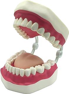 Dental Teeth Care Model with Toothbrush,32 Teeth,Kouber Human Anatomical Model,4
