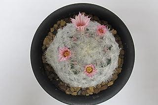 サボテン マミラリア プルモーサ 赤花白星 3号鉢 ③